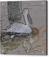 Pelican Swim IIi Color Pencil Acrylic Print