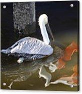 Pelican Swim Acrylic Print