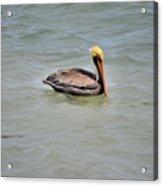 Pelican Swimming  Acrylic Print