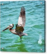 Pelican Taking Flight Acrylic Print