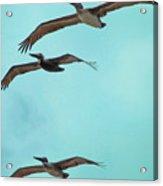 Pelican Trio Acrylic Print