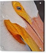 Pelican Twist Acrylic Print