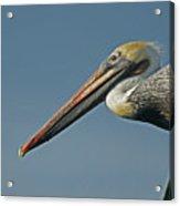 Pelican Upclose Acrylic Print