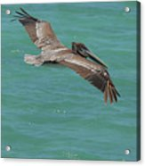 Pelican With His Wings Extended Over The Tropical Aruban Waters Acrylic Print