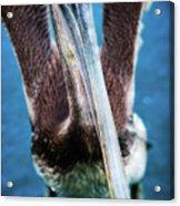 Pelicano Acrylic Print