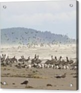 Pelicans And Gulls Acrylic Print