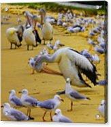 Pelicans At Pearl Beach 3.1 Acrylic Print