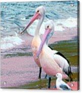 Pelicans At Pearl Beach 5.1 Acrylic Print