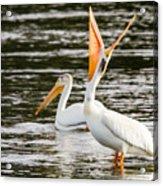 Pelicans Fishing Acrylic Print