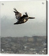 Pelicans Flying Over San Francisco Bay Acrylic Print