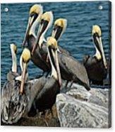 Pelicans Fort Pierce, Fl. Jetty Acrylic Print