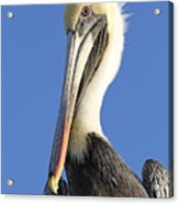 Pelican's Good Side Acrylic Print