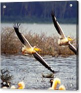 Pelicans In Flight Acrylic Print