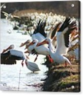 Pelicans Leaving Acrylic Print