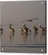 Pelicans On Beach Acrylic Print