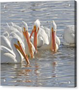 Pelicans On The Prowl Acrylic Print