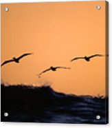 Pelicans Over The Pacific Acrylic Print