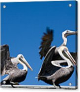 Pelicans Take Flight Acrylic Print