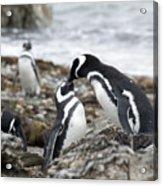 Penguin Love Acrylic Print