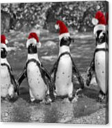 Penguins With Santa Claus Caps Acrylic Print