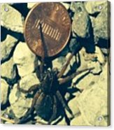 Penny Pinching Spider Acrylic Print