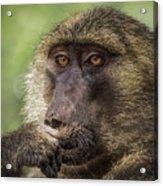 Pensive Baboon Acrylic Print