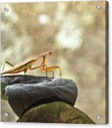 Pensive Mantis Acrylic Print