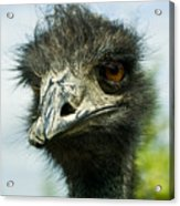 Pensive Ostrich Acrylic Print