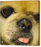 Pensive Pup Acrylic Print