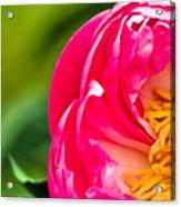 Peonie Flower Acrylic Print