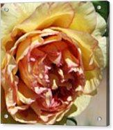 peony 19 Pale Yellow and Pink Tree Peony macro Acrylic Print