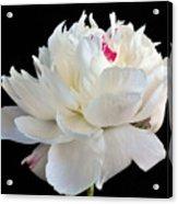 peony 6 Double White Peony I Acrylic Print