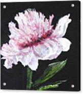 Peony Bloom Acrylic Print