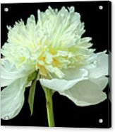 Peony Expression Of Tenderness Acrylic Print