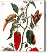 Pepper Plant Acrylic Print