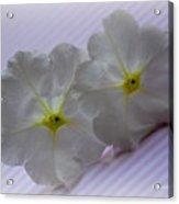 Peppermint Petunias Acrylic Print