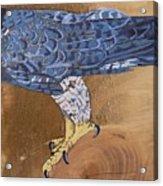 Peragrine Falcon Acrylic Print