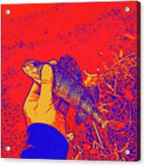 Perch Red Yellow Blue Acrylic Print