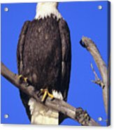 Perched Bald Eagle Acrylic Print