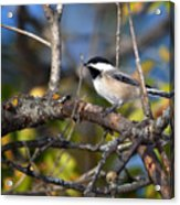 Perched Black-capped Chickadee Acrylic Print