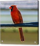 Perched Cardinal Acrylic Print
