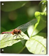 Perched Dragonfly Acrylic Print