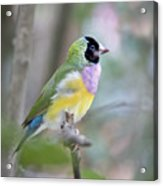 Perched Gouldian Finch Acrylic Print by Glennis Siverson