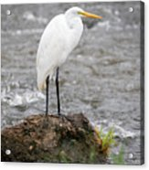 Perched Great Egret Acrylic Print