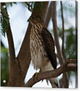 Perched Hawk Acrylic Print