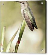 Perched Hummingbird On Flower Acrylic Print