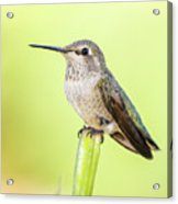 Perched Hummingbird Vi Acrylic Print