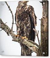 Perched Juvenile Eagle Acrylic Print