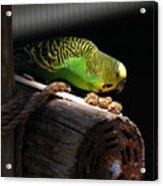 Perched Parakeet Acrylic Print
