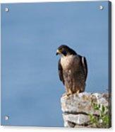 Perched Peregrine Falcon Acrylic Print